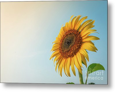 Beautiful Sunflower And Sun Light Form Top Left. Metal Print by Tosporn Preede