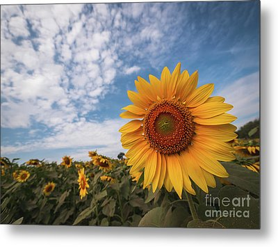 Beautiful Sunflower Plant In The Field, Thailand. Metal Print by Tosporn Preede