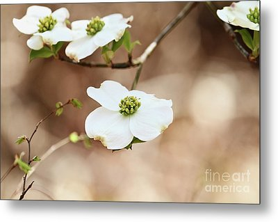 Metal Print featuring the photograph Beautiful White Flowering Dogwood Blossoms by Stephanie Frey