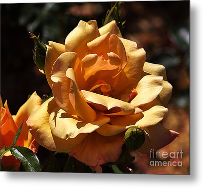 Beautiful Yellow Rose Belle Epoque Metal Print by Louise Heusinkveld