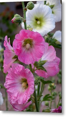 Metal Print featuring the photograph Beauty Of Hollyhocks by Jeanette Oberholtzer