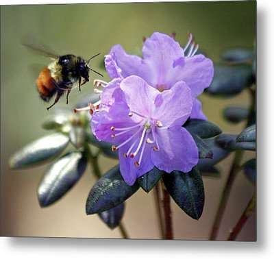 Metal Print featuring the photograph Bee And Bob's Blue by Chris Anderson