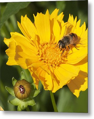 Bee And Ladybug On Coreopsis Metal Print