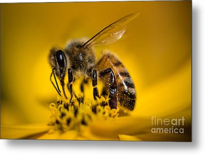 Bee Enjoys Collecting Pollen From Yellow Coreopsis Metal Print