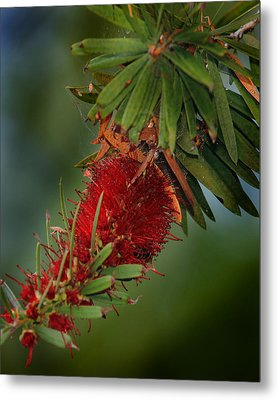 Bee In Red Flower Metal Print by Joseph G Holland
