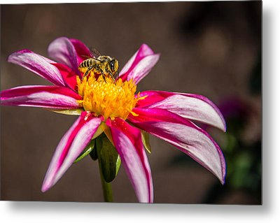 Bee On Dahlia Metal Print