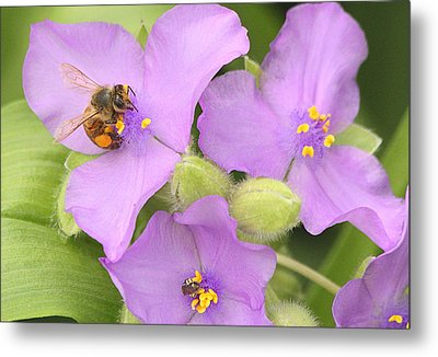 Metal Print featuring the photograph Bee On Purple Spiderwort by Sheila Brown