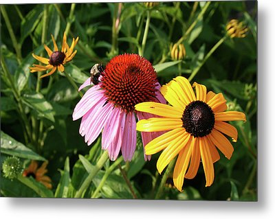 Bee On The Cone Flower Metal Print by Greg Joens