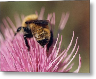 Bee On Thistle 102 Metal Print by Diane Backs-Mancuso