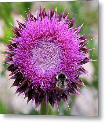 Bee On Thistle Metal Print