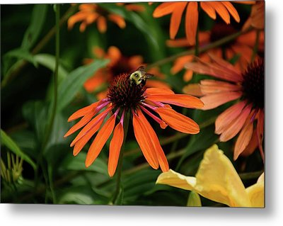 Bee Pollinating On A Cone Flower Metal Print
