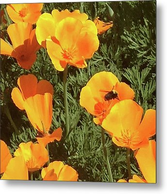 Bee Visits Poppies  Metal Print by Carolyn Donnell