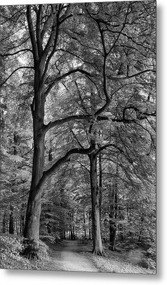 Beech Forest - 365-222 Metal Print by Inge Riis McDonald