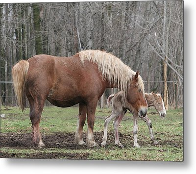 Belgian Foal First Steps Metal Print by Laurie With