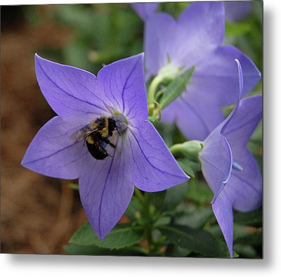 Metal Print featuring the photograph Bellflower And Bee  by Marie Hicks
