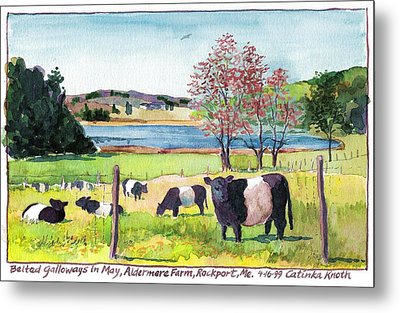 Belted Galloway Art  Maine Cows In May Metal Print