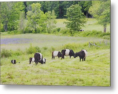 Belted Galloway Cows Rockport Maine Poster Prints Metal Print by Keith Webber Jr