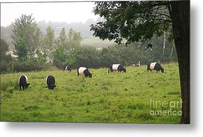 Belted Galloways In Field Metal Print