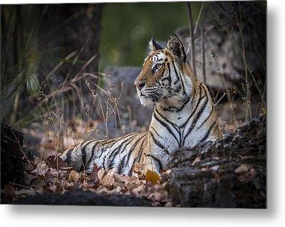 Bengal Tiger Metal Print by Hitendra SINKAR