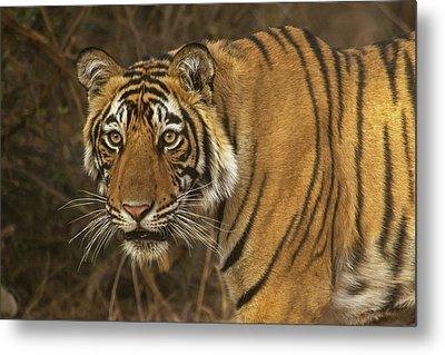 Bengale Tiger Metal Print