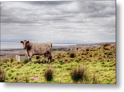 Besty My Irish Cow Metal Print by Natasha Bishop