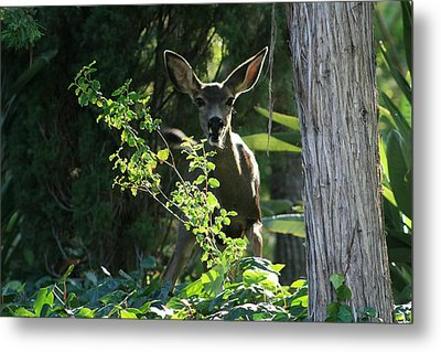 Metal Print featuring the photograph Beverly Hills Deer by Marna Edwards Flavell