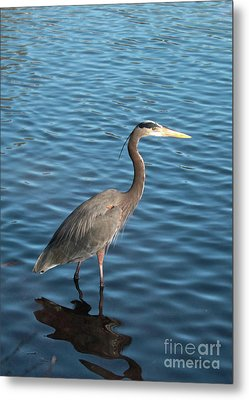 Big Blue In Blue Water Metal Print by Carol Groenen