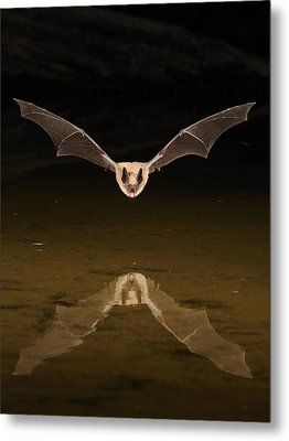 Big Brown Bat Reflection Metal Print by Scott  Linstead