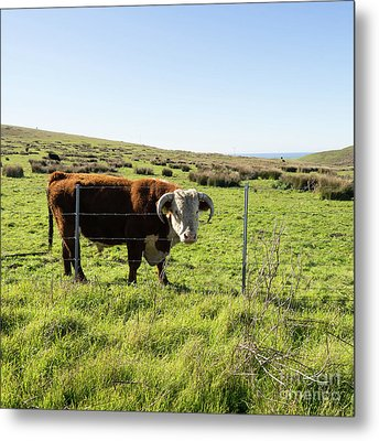Metal Print featuring the photograph Big Bull At Point Reyes National Seashore California Dsc4884-sq by Wingsdomain Art and Photography