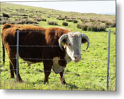 Metal Print featuring the photograph Big Bull At Point Reyes National Seashore California Dsc4885 by Wingsdomain Art and Photography