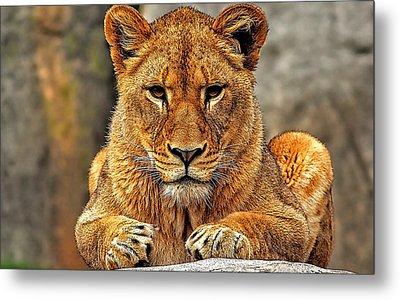 Big Cat Lion Collection Metal Print