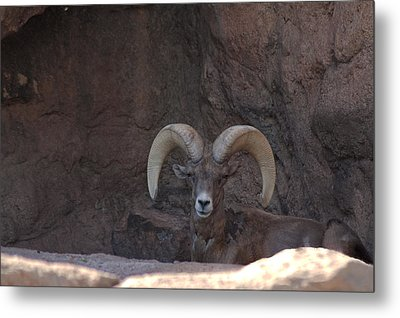 Metal Print featuring the photograph Big Horn Ram by Daniel Hebard
