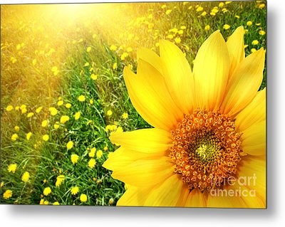 Big Yellow Sunflower  Metal Print by Sandra Cunningham