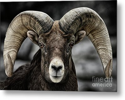 Bighorn Ram Metal Print
