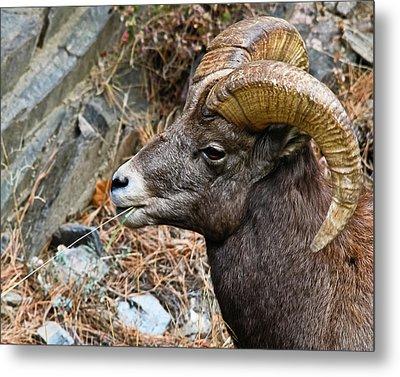 Bighorn Ram Hayseed Metal Print
