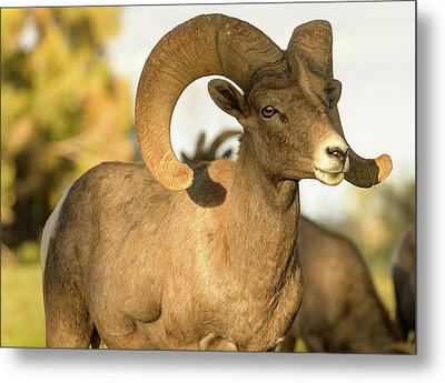 Bighorn Ram Metal Print by Scott Warner