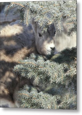 Metal Print featuring the photograph Bighorn Sheep Lamb's Hiding Place by Jennie Marie Schell