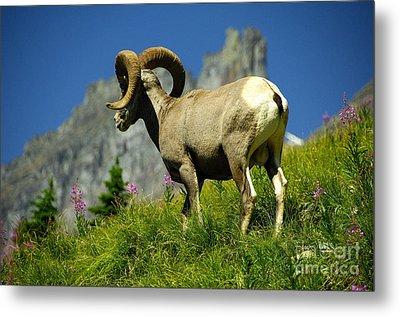 Bighorn Sheep Metal Print by Marc Bittan