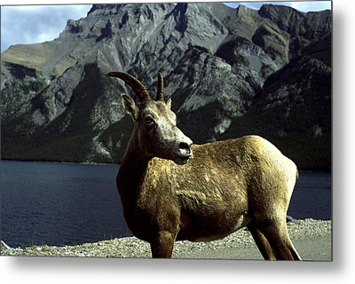 Metal Print featuring the photograph Bighorn Sheep by Sally Weigand