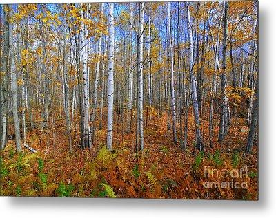 Birch Forest Autumn  Metal Print by Catherine Reusch Daley