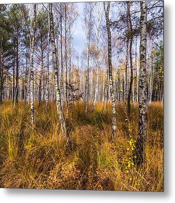 Birches And Grass Metal Print
