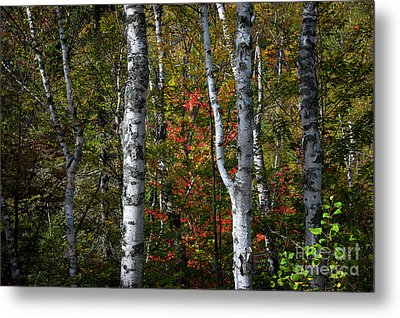 Birches Metal Print by Elena Elisseeva