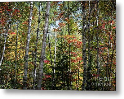 Metal Print featuring the photograph Birches In Fall Forest by Elena Elisseeva