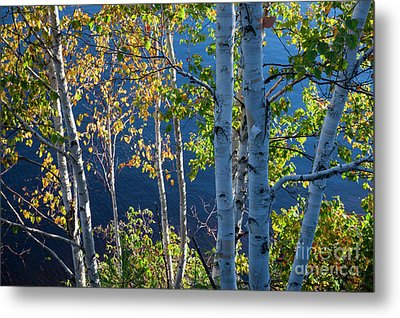 Metal Print featuring the photograph Birches On Lake Shore by Elena Elisseeva