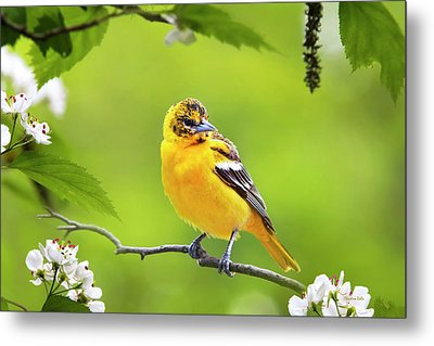 Bird And Blooms - Baltimore Oriole Metal Print by Christina Rollo