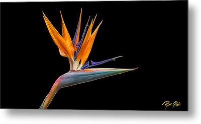 Metal Print featuring the photograph Bird Of Paradise Flower On Black by Rikk Flohr
