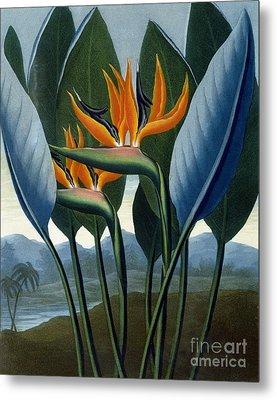 Bird Of Paradise Flower  The Queen Metal Print