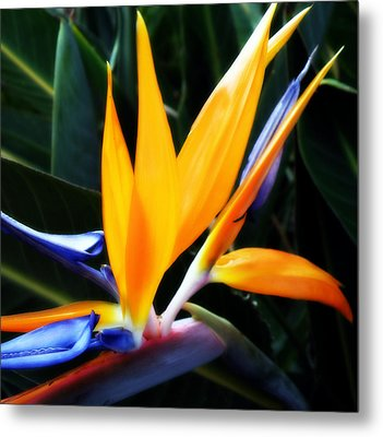Bird Of Paradise Metal Print by Rose  Hill