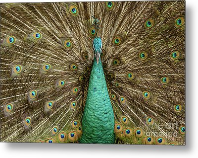 Metal Print featuring the photograph Peacock by Werner Padarin