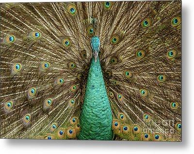 Peacock Metal Print by Werner Padarin